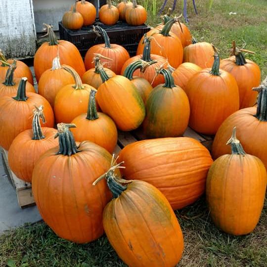 Pumpkins-Sq.png